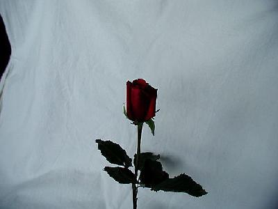 Photo Rose 54 Flower
