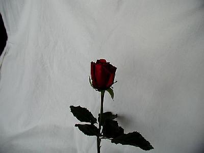 Photo Rose 62 Flower