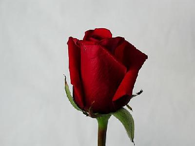 Photo Rose 65 Flower