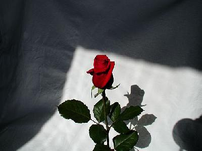 Photo Rose 7 Flower