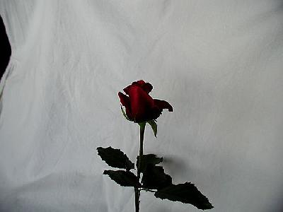 Photo Rose 76 Flower