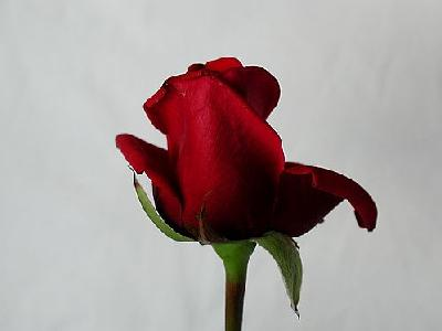 Photo Rose 89 Flower