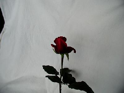 Photo Rose 92 Flower