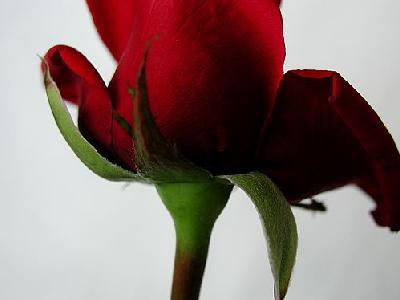 Photo Rose 95 Flower