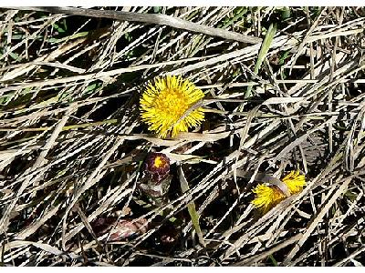 Photo Coltsfoot 2 Flower