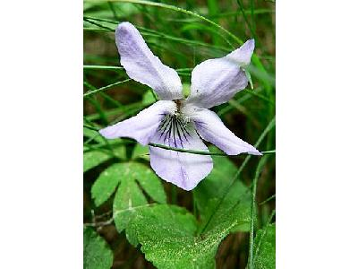 Photo Common Dog Violet Flower