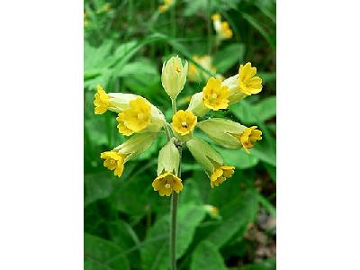 Photo Cowslip Flower