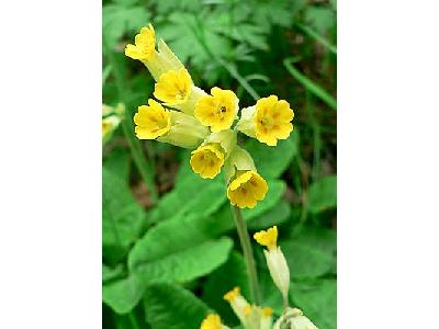 Photo Cowslip 2 Flower