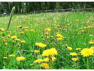 Photo Dandelion Field Flower