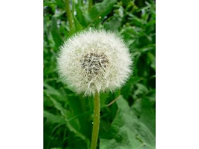 Photo Dandelion Seed Flower