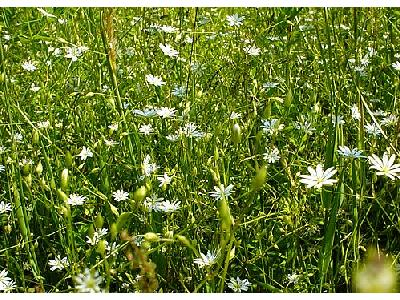 Photo Field Of White Daisys Flower