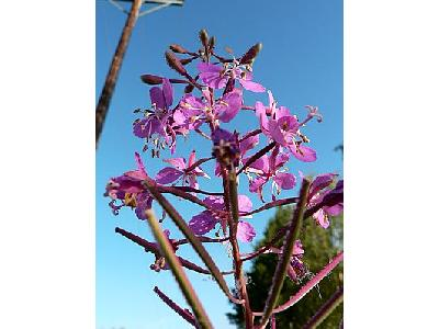 Photo Fireweed Flower