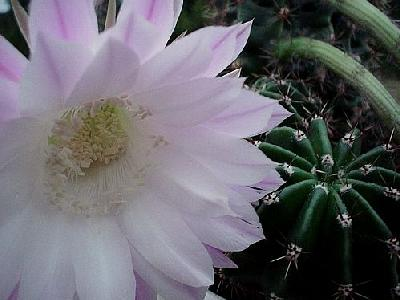 Photo Flowering Cactus Flower