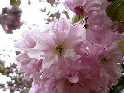 Photo Flowering Tree 4 Flower