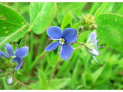 Photo Germander Speedwell 2 Flower