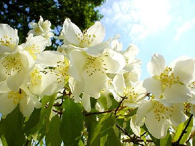 Photo Jasmine Bush 2 Flower