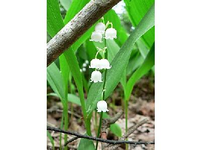 Photo Lily Of The Valley Flower