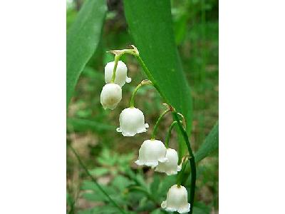 Photo Lily Of The Valley 2 Flower