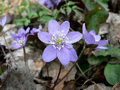 Photo Liverleaf 3 Flower