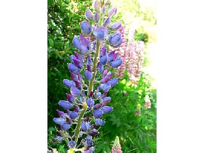 Photo Lupine Blue 2 Flower