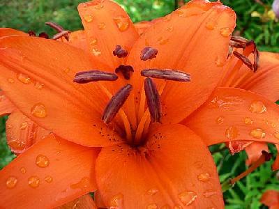 Photo Orange Flower 3 Flower