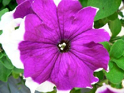 Photo Purple And White Flower Flower