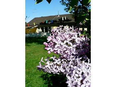 Photo Purple Lilac Flower