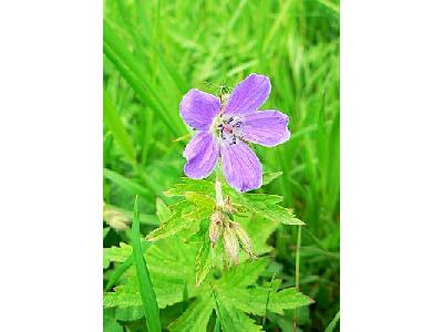 Photo Purple Wild Flower Flower