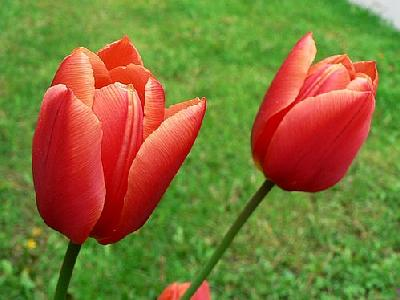 Photo Red Tulips Flower