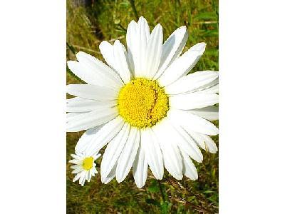 Photo White Daisy Flower