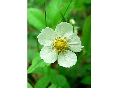 Photo Wild Strawberry Flower Flower