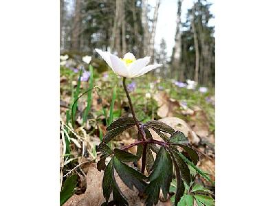 Photo Wood Anemone Flower