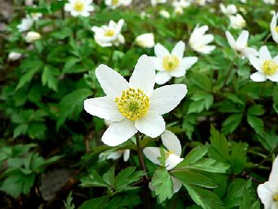Photo Wood Anemone 3 Flower