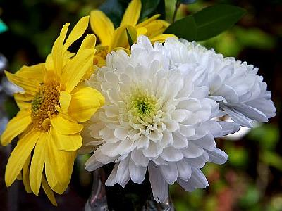 Photo Chrysanthemum Flower