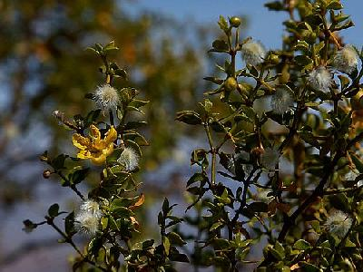 Photo Creosote Bush Flower
