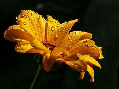 Photo Daisy With Raindrops Flower