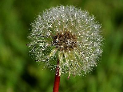 Photo Dandelion Flower