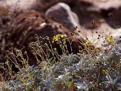 Photo Desert Flowers Flower