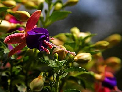 Photo Fuschia Flower