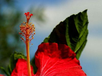 Photo Hibiscus 2 Flower