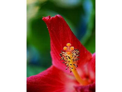 Photo Hibiscus 4 Flower