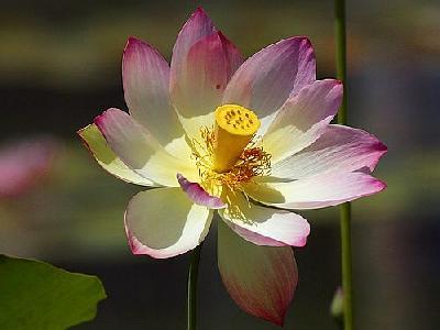 Photo Lotus Flower 3 Flower