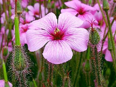 Photo Pink Flower 2 Flower