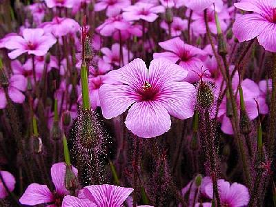Photo Pink Flowers Flower