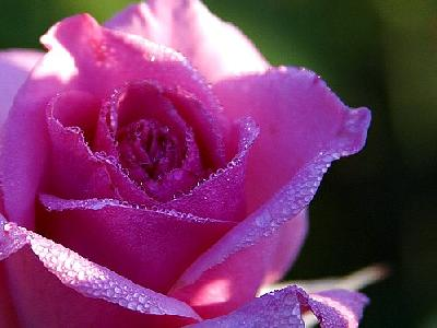 Photo Pink Rose Drops Flower