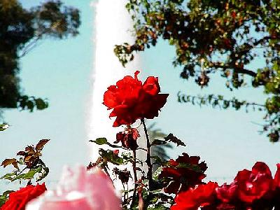 Photo Rose Garden Flower
