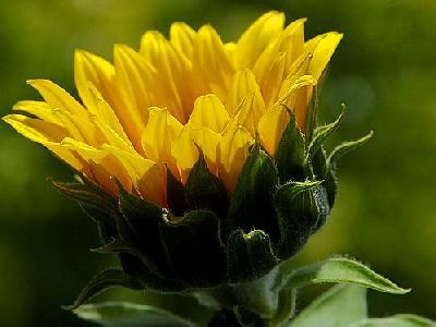 Photo Sun Flower Flower