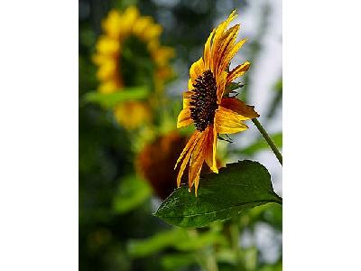 Photo Sun Flower 2 Flower