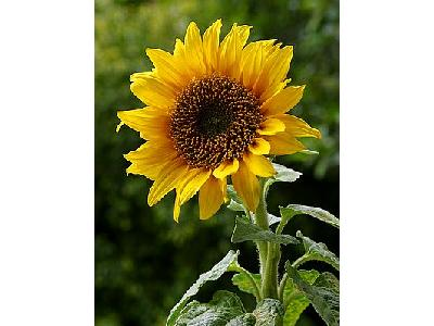 Photo Sun Flower 3 Flower