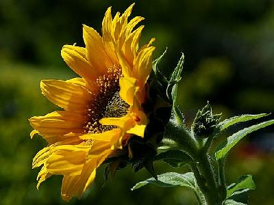 Photo Sunflower Flower